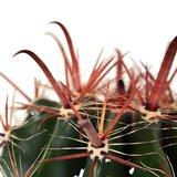biznaga de agua (ferocactus wislizenii)
