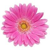 gerbera rosa flor