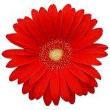 flor gerbera roja