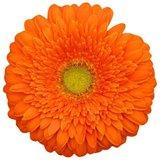 flor gerbera naranja