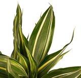 hojas dracena sandriana victory