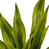 hojas dracena sandriana gold