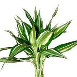 hojas dracena sandriana white