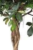 hojas cheflera arboricola gold capella trenzada