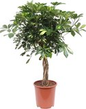 cheflera arboricola gold capella trenzada