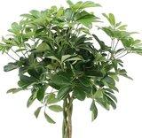 cheflera arboricola nora trenzada