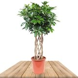 cheflera arboricola 100cm
