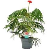 flor de coral jatrofa