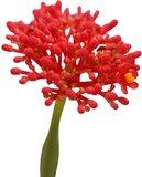 flor jatrofa