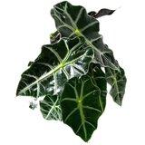 hojas alocasia polly