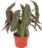 begonia maculata 40cm