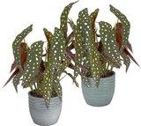 duo begonia maculata en macteros