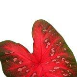 hoja caladium red flash