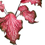 hojas caladium pink panther