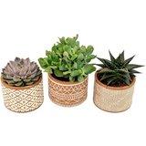 trio plantas suculentas con macteros marrones blancos