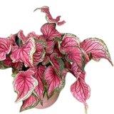 hojas caladium sizzle bush