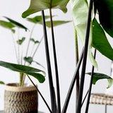 alocasia black stem deco