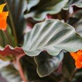 hojas calathea crocata candela
