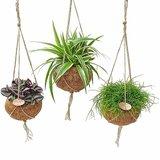 mix plantas verdes colgantes en maceta de coco