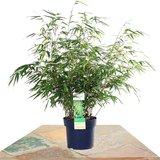 bambú 60cm (fargesia rufa)