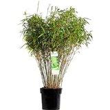 fargesia rufa 80cm (bambú)