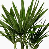 hojas palmera trachycarpus fortuneii