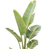 hojas strelitzia augusta