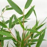 hojas bambú (fargesia rufa)