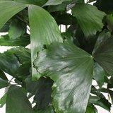hojas palmera caryota mitis