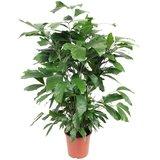 palmera caryota mitis 100cm