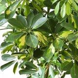 hojas cheflera arboricola gold capella