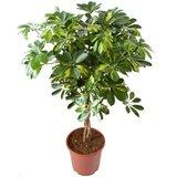 cheflera arboricola goldcapella 100cm