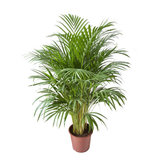 palmera areca 105cm