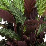 hojas calathea rufibarba