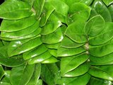 hojas zamioculcas zenzi