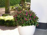 verónica rosa 50cm en maceta