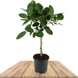 ficus benghalensis audrey copa