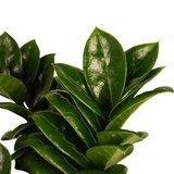 hojas zamioculca zenzi