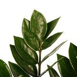 hojas zamioculca