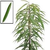 hojas ficus binnendijkii alii