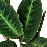 calathea warscewiczii hojas