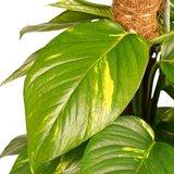 hojas poto aurea tutor