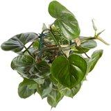 hojas filodendro scandens