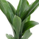 hojas aspidistra