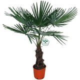palmera trachycarpus fortuneii 115cm