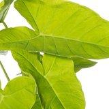 hojas xanthosoma lime