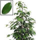 hojas ficus benjamina danielle