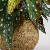 kokedama begonia maculata