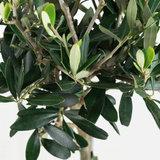 hojas árbol olivo
