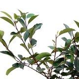 hojas fotinia red robin